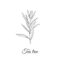 tea tree sketch branch vector image