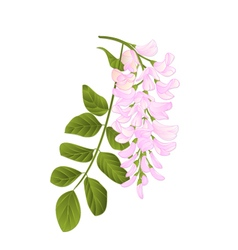 Locust tree twig with leaves and flowers vintage vector image
