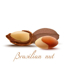brasilian nut and kernel in realistic style vector image