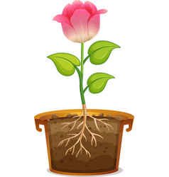 Pink flower in clay pot on white background vector