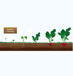 Radish growth stages banner vector