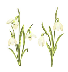 set flowers galanthus botanical vector image