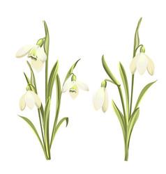 set of flowers of galanthus botanical vector image