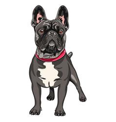 Black dog french bulldog vector