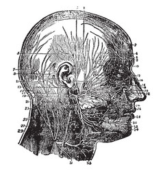 nerves of the face and scalp vintage vector image