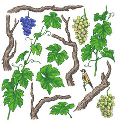 Hand drawn grape branches and vine vector
