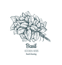 herbs and spices basil basil sketch hand drawing vector image