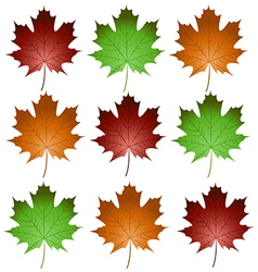 Maple leaves1 vector
