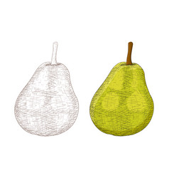 green pear sketch colored and black and white vector image