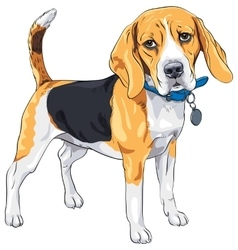 Sketch serious dog Beagle breed vector