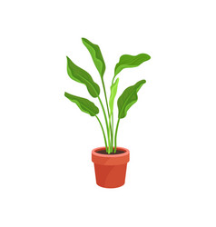 spathiphyllum or peace lily in brown ceramic pot vector image