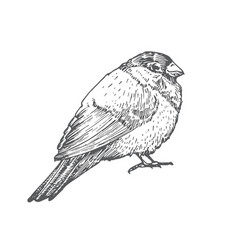 Hand drawn christmas bullfinch bird vector
