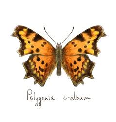 Butterfly Polygonia c-album Watercolor imitation vector image vector image