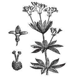 Sweet woodruff vintage engraving vector image vector image