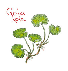 Centella asiatica commonly known as centella vector