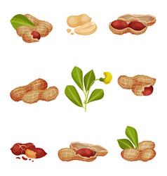 Peanut kernel in nutshell with green leaves vector