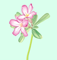 Watercolor Painting of Impala lily vector image