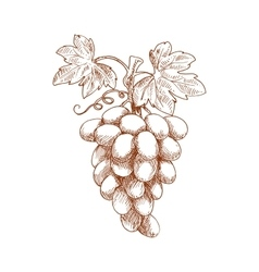 Bunch grape fruit on grapevine sketch vector