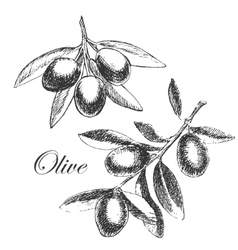 Hand drawn olive branch detailed sketch vector