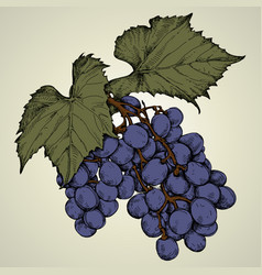 Branch of blue grapes vector