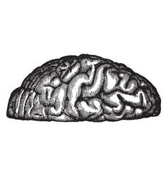 Convolutions of the brain vintage vector