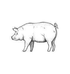 Hand drawn of pig vector