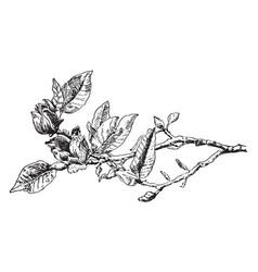 Magnolia vintage vector