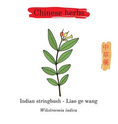 Medicinal herbs of china indian stringbush vector