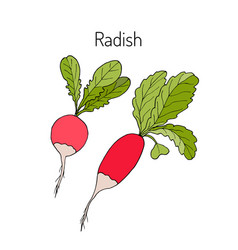 radishes with leaves vegetable collection vector image