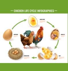 Chicken life cycle infographics vector