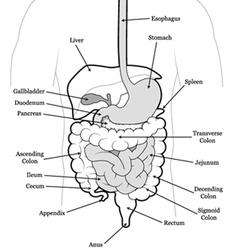 human abdomen vector image