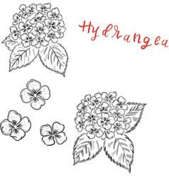 hydrangea flowers botanical design element vector image