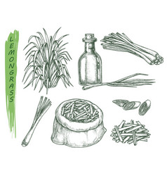 set isolated sketches lemongrass plant vector image