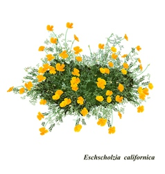 Eschscholzia californica vector image