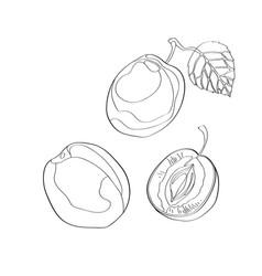 plum sliced plum half plum vector image