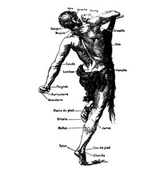 Vintage engraving a male body medical graphic vector