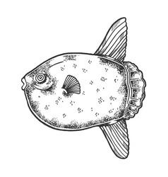 ocean sunfish sketch engraving vector image