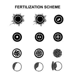 schematic image of fertilization in mammals vector image