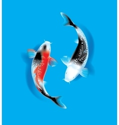 Koi couple on blue vector image