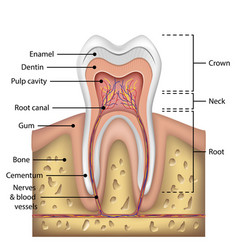 Tooth anatomy infographics realistic white vector