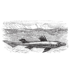 Spiny dogfish engraving vector image