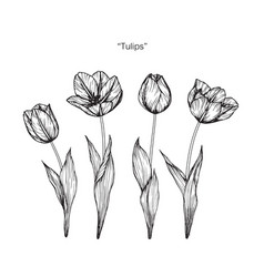 Tulip flower drawing vector