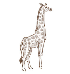 african animal giraffe isolated sketch tallest vector image