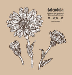 Hand drawn calendula flower medicinal herbs in vector