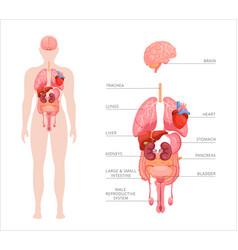 Human body internal organs vector
