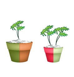 Two Evergreen Plant in Ceramic Pots vector image vector image