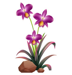 Purple orchid flowers and rocks on white vector