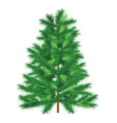 Conifer spruce on white background vector