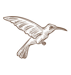 hummingbird or colibri isolated sketch wild vector image