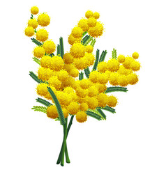 yellow fluffy mimosa flower branch isolated on vector image vector image